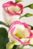 White flowers with a pink border Royalty Free Stock Photography