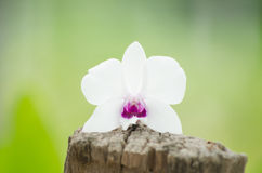 White flowers placed on stump. Royalty Free Stock Images