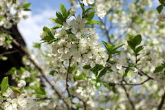 White flowers of the plum blossoms on a spring day in the park o Royalty Free Stock Photos