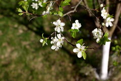 White flowers of the plum blossoms on a spring day in the park o Royalty Free Stock Image