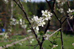 White flowers of the plum blossoms on a spring day in the park o Royalty Free Stock Photo