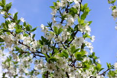White flowers of the plum blossoms on a spring day in the park o Royalty Free Stock Photography