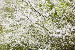 White flowers of plum tree Stock Photography