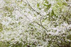 White flowers of plum tree Stock Photography