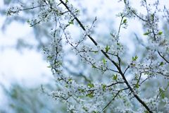 White flowers of plum tree Stock Photos