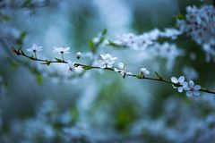 White flowers of plum tree Royalty Free Stock Image