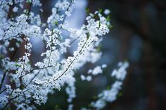 White flowers of plum tree Stock Images