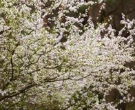 White flowers of plum tree Stock Photos