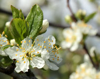 White flowers on a plum tree. White flowers blossoming on a plum tree royalty free stock image