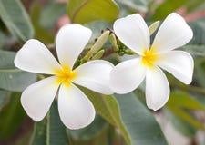 White flowers plumeria Royalty Free Stock Photo