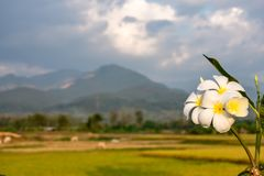 White flowers or Plumeria obtusa and Paddy fields in the country. stock images