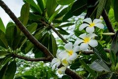 White flowers or Plumeria obtusa on the sky. White flowers or Plumeria obtusa on the sky in garden Royalty Free Stock Image