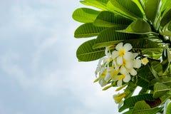 White flowers or Plumeria obtusa on the sky. White flowers or Plumeria obtusa on the sky in garden Stock Photos
