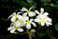 White flowers or Plumeria obtusa. stock photo