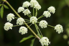 White flowers of poison hemlock in a Connecticut swamp. Stock Photos