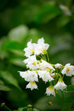 White flowers of potato Royalty Free Stock Photos