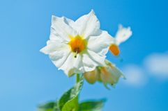 White flowers of potato Royalty Free Stock Image