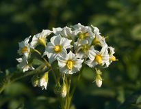 White flowers of a potato Stock Photography