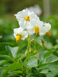 White flowers of potato Stock Images