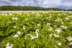White flowers in potato field Stock Images