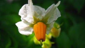 Beautiful white flowers of potato on green background stock photography