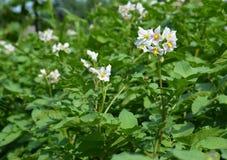 White flowers of potato plant. Potato flowers blooming in the garden. Potato flowers blooming in the garden royalty free stock image