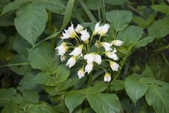 White flowers of potatoes. Similar to a bouquet. White flowers of potatoes. Very large inflorescence, similar to a bouquet stock photography