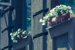 White flowers in pots on the windows of a modern building outside. White flowers in pots on the windows of a modern building outside Stock Image