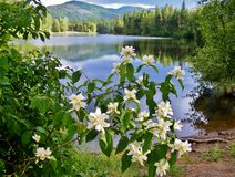 WHITE FLOWERS WITH PRETTY REFLECTIVE LAKE IN THE BACKGROUND Royalty Free Stock Image