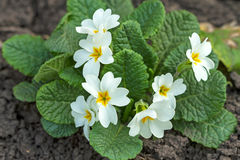 White flowers Primrose on the flowerbed Stock Photography