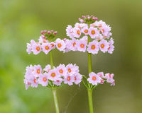 White Flowers Of Primula Candelabra Royalty Free Stock Photography