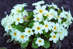 White flowers Primula Vulgaris Stock Photography