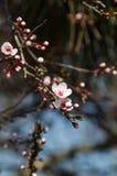 White flowers of Prunus cerasifera Stock Photography