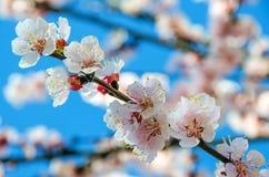 White flowers of Prunus cerasifera Royalty Free Stock Images