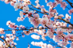 White flowers of Prunus cerasifera Royalty Free Stock Photo