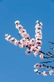 White flowers of Prunus cerasifera Stock Photo
