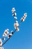 White flowers of Prunus cerasifera Royalty Free Stock Photos