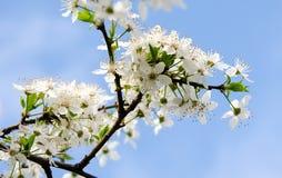 White flowers of Prunus cerasifera Stock Photos
