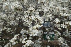 White flowers of Prunus cerasifera in spring. White flowers of Prunus cerasifera tree in spring royalty free stock image