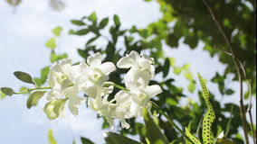 White flowers in the public park of tropical Bali island, Indonesia. Macro HD 1080p. stock footage