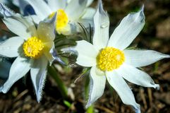 White flowers Pulsatilla patens in early spring. royalty free stock photography