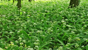 White flowers of ramson stock video footage