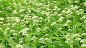 White flowers of ramson stock video