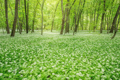 White flowers of the ramsons in the forest Royalty Free Stock Image