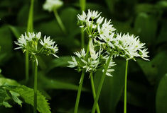 The white Flowers of Ramsons or Wild Garlic, Allium ursinum. Also known as , buckrams, broad-leaved garlic, wood garlic, bear leek or bear's garlic royalty free stock images