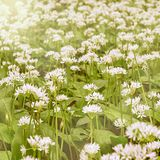White flowers of ramsons or wild garlic. Stock Images