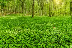 White flowers of the ramsons or wild garlic. White flowers of the ramsons or wild garlic in the deep forest Stock Image