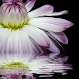 White flowers reflected in the water Stock Photos