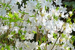 White flowers of a rhododendron of Shlippenbakh Rhododendron schlippenbachii Maxim.  Royalty Free Stock Photography