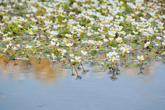 White flowers in the river water Stock Image